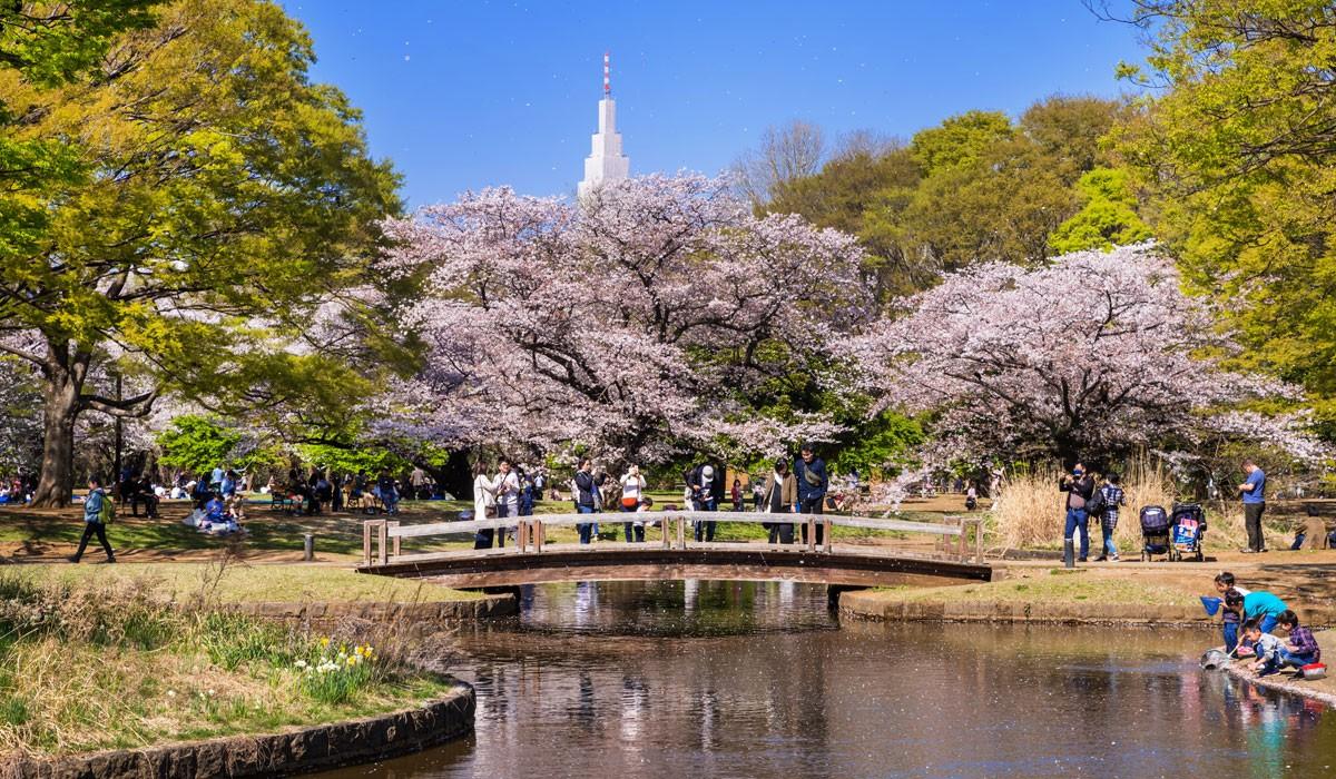 parcul yoyogi festivalul florilor de cires japonia 1200x700