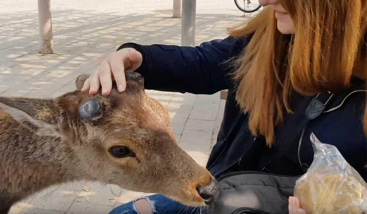 Caprioara din Nara Japonia