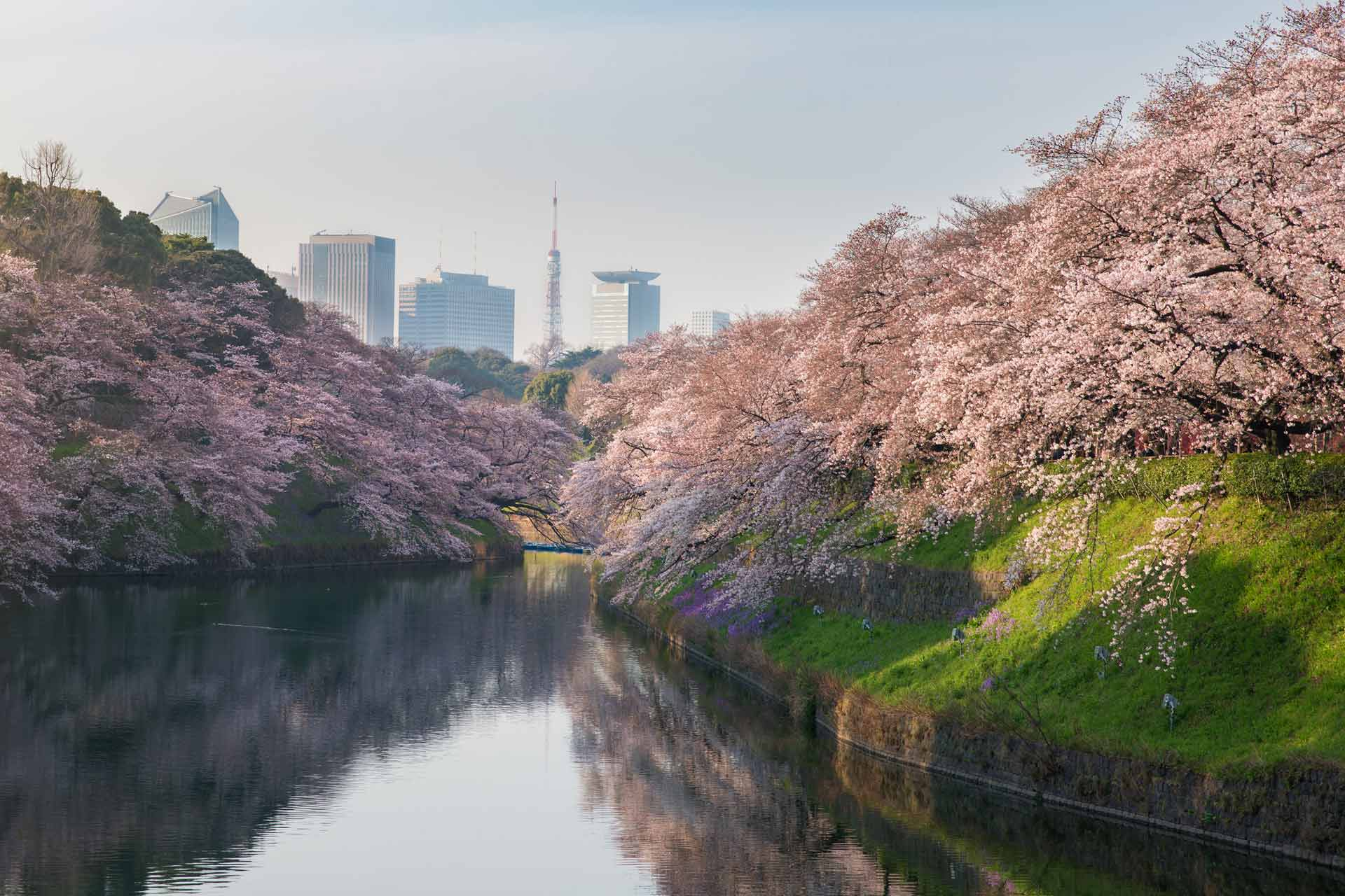 Festivalul florilor de cires Japonia